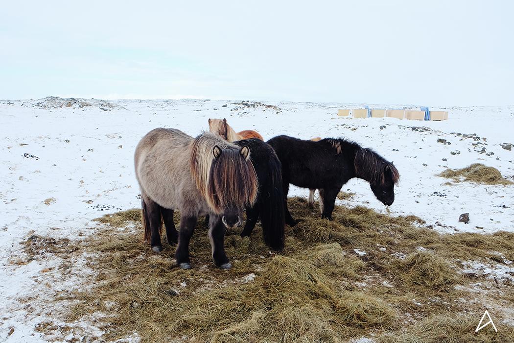 islande_chevaux