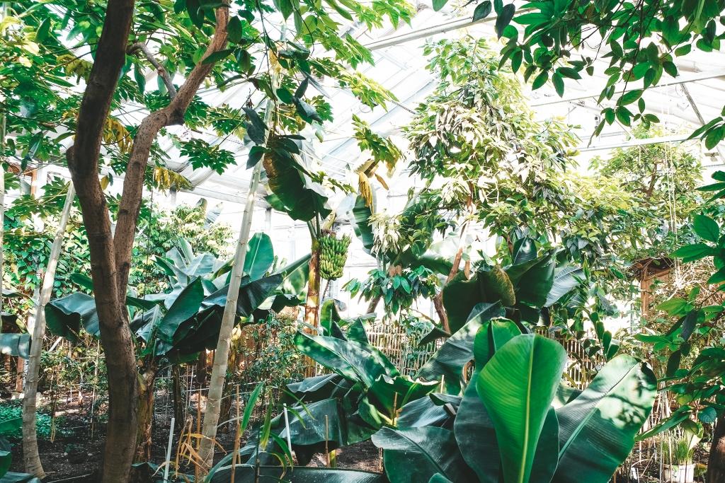 Des bananes poussent sur les bananiers