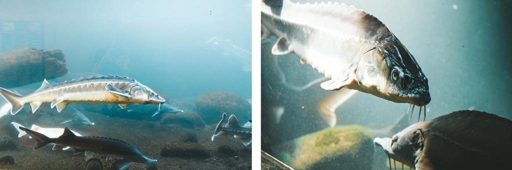 Les esturgeons nagent dans leur bassin